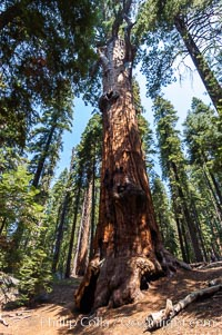 Chief Sequoyah, an enormous Sequoia tree, Sequoiadendron giganteum, Giant Forest, Sequoia Kings Canyon National Park, California