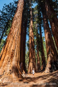 A young hiker is dwarfed by the enormous Senate Group of Sequoia trees, part of the Congress trail, Sequoiadendron giganteum, Giant Forest, Sequoia Kings Canyon National Park, California