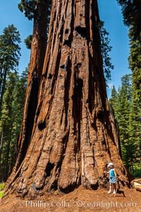 A young hiker is dwarfed by the trunk of an enormous Sequoia tree, Sequoiadendron giganteum, Giant Forest, Sequoia Kings Canyon National Park, California
