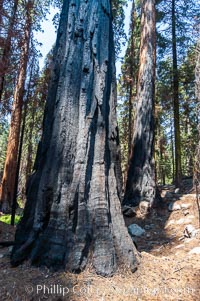 Fire damage is apparent on the bark of this large Sequoia tree. Its fibrous, fire-resistant bark, 2 feet or more in thickness on some Sequoias, helps protect the giant trees from more severe damage during fires, Sequoiadendron giganteum, Sequoia Kings Canyon National Park, California