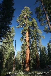 A giant sequoia tree, soars skyward from the forest floor, lit by the morning sun and surrounded by other sequioas.  The massive trunk characteristic of sequoia trees is apparent, as is the crown of foliage starting high above the base of the tree, Sequoiadendron giganteum, Mariposa Grove, Yosemite National Park, California
