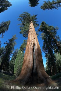 A giant sequoia tree, soars skyward from the forest floor, lit by the morning sun and surrounded by other sequioas.  The massive trunk characteristic of sequoia trees is apparent, as is the crown of foliage starting high above the base of the tree. Mariposa Grove, Yosemite National Park, California, USA, Sequoiadendron giganteum, natural history stock photograph, photo id 23270