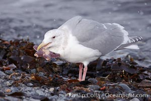 Glaucous-winged gull, eating a starfish (sea star) at the water's edge, Larus glaucescens, Kachemak Bay, Homer, Alaska