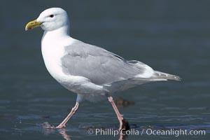 Glaucus-winged gull on tide flat, Larus glaucescens, Lake Clark National Park, Alaska