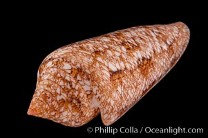 Glory of the Sea cone shell, gold form.  The Glory of the Sea cone shell, once one of the rarest and most sought after of all seashells, remains the most famous and one of the most desireable shells for modern collectors, Conus gloriamaris