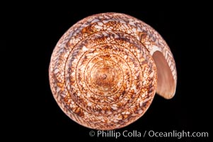Glory of the Sea cone shell, brown form.  The Glory of the Sea cone shell, once one of the rarest and most sought after of all seashells, remains the most famous and one of the most desireable shells for modern collectors, Conus gloriamaris