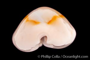 Gold-ring Cowrie, Cypraea annulus
