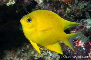 Golden Damselfish, Fiji, Amblyglyphidodon aureus, Namena Marine Reserve, Namena Island