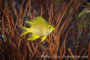 Golden Damselfish, Fiji. Fiji, Amblyglyphidodon aureus, natural history stock photograph, photo id 34770