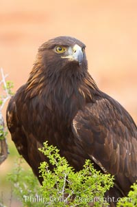 Golden eagle., Aquila chrysaetos, natural history stock photograph, photo id 12210