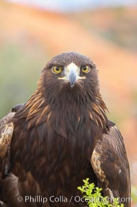 Golden eagle, Aquila chrysaetos