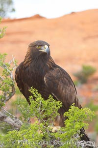 Golden eagle., Aquila chrysaetos, natural history stock photograph, photo id 12219