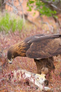 Golden eagle consumes a rabbit., Aquila chrysaetos, natural history stock photograph, photo id 12235