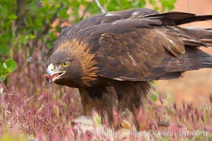 Golden eagle consumes a rabbit, Aquila chrysaetos