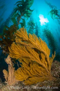 Golden gorgonian on underwater rocky reef, amid kelp forest, Catalina Island. The golden gorgonian is a filter-feeding temperate colonial species that lives on the rocky bottom at depths between 50 to 200 feet deep. Each individual polyp is a distinct animal, together they secrete calcium that forms the structure of the colony. Gorgonians are oriented at right angles to prevailing water currents to capture plankton drifting by
