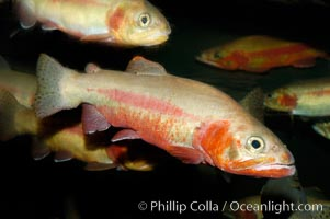 Golden trout., Oncorhynchus aguabonita, natural history stock photograph, photo id 09414