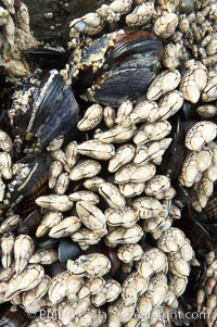 Gooseneck barnacles, exposed at low tide, adhere to a rock.  The shell, or capitulum, of the gooseneck barnacle grows to be about two inches long. It is made up of small plates, which enclose its soft body. Inside the shell, the barnacle primarily consists of long segmented legs, intestines and stomach, Pollicipes polymerus, Ruby Beach, Olympic National Park, Washington