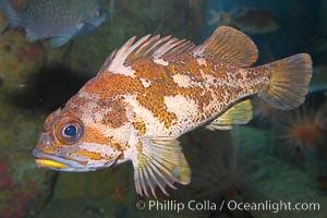 Gopher rockfish, Sebastes carnatus