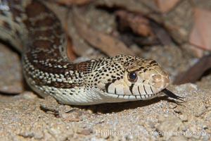 Gopher snake, Pituophis catenifer