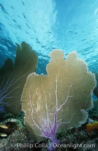 Purple sea fan. Bahamas, Gorgonia ventalina, natural history stock photograph, photo id 05358