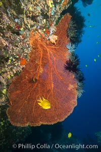 Gorgonian Sea Fan on Coral Reef, Fiji. Vatu I Ra Passage, Bligh Waters, Viti Levu  Island, Fiji, Crinoidea, Gorgonacea, natural history stock photograph, photo id 31373