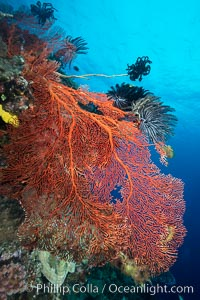 Plexauridae gorgonian Sea Fan on Pristine Coral Reef, Fiji. Vatu I Ra Passage, Bligh Waters, Viti Levu  Island, Fiji, Crinoidea, Gorgonacea, Plexauridae, natural history stock photograph, photo id 31510