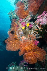 Gorgonian Sea Fan on Pristine Coral Reef, Fiji, Gorgonacea, Plexauridae, Vatu I Ra Passage, Bligh Waters, Viti Levu  Island
