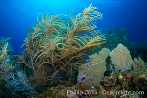 Gorgonian soft corals, Grand Cayman Island. Grand Cayman, Cayman Islands, natural history stock photograph, photo id 32038