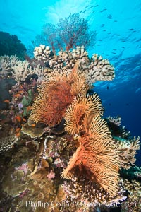 Gorgonians and Stony Corals, Tropical Coral Reef, Fiji, Gorgonacea, Plexauridae, Vatu I Ra Passage, Bligh Waters, Viti Levu  Island