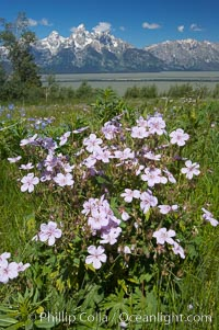 Wildflowers on Shadow Mountain with the Teton Range visible in the distance.,  Copyright Phillip Colla, image #13020, all rights reserved worldwide.