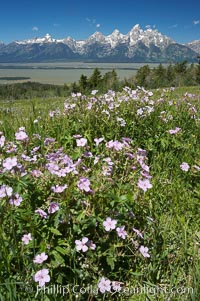 Wildflowers on Shadow Mountain with the Teton Range visible in the distance, Grand Teton National Park, Wyoming