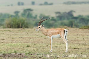 Grant's Gazelle, Maasai Mara, Kenya, Nanger granti, Olare Orok Conservancy