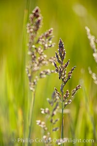 Grass backlit by the setting sun. Lake Clark National Park, Alaska, USA, natural history stock photograph, photo id 19083