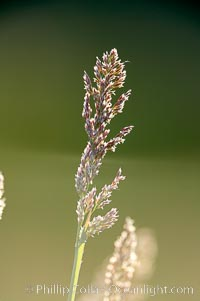 Grass backlit by the setting sun. Lake Clark National Park, Alaska, USA, natural history stock photograph, photo id 19085