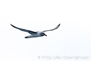 Gray-headed albatross, in flight, Thalassarche chrysostoma