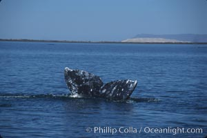 Image 03391, Gray whale, Laguna San Ignacio. San Ignacio Lagoon, Baja California, Mexico, Eschrichtius robustus, Phillip Colla, all rights reserved worldwide. Keywords: anatomy, animal, baja california, cetacea, cetacean, endangered, endangered threatened species, eschrichtiidae, eschrichtius, eschrichtius robustus, gray whale, marine, marine mammal, mexico, mysticete, mysticeti, robustus, san ignacio lagoon, whale, whale anatomy, whale fluke tail, whale sanctuary of el vizcaino, world heritage sites.