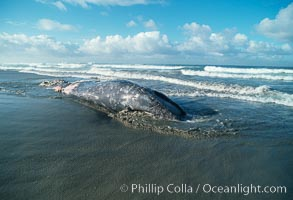 Gray whale carcass at oceans edge, Eschrichtius robustus, Del Mar, California