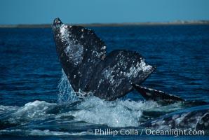 Gray whale lifting fluke during courtship socialization, Laguna San Ignacio, Eschrichtius robustus, San Ignacio Lagoon