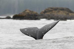Gray whale, raising its fluke (tail) before diving to the ocean floor to forage for crustaceans, , Cow Bay, Flores Island, near Tofino, Clayoquot Sound, west coast of Vancouver Island, Eschrichtius robustus
