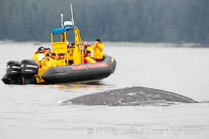 Gray whale dorsal ridge (back) at the surface in front of a boat full of whale watchers, Cow Bay, Flores Island, near Tofino, Clayoquot Sound, west coast of Vancouver Island, Eschrichtius robustus