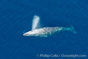 Gray whale blowing at the ocean surface, exhaling and breathing as it prepares to dive underwater, Eschrichtius robustus, Encinitas, California