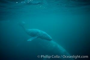 Gray whale, neonate calf and cow, Eschrichtius robustus, Monterey, California