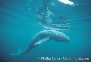 Underwater photos of the California gray whale, Eschrichtius robustus, in California and Mexico.  Stock natural history photography and pictures.