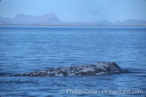 Gray whale, Laguna San Ignacio, Eschrichtius robustus, San Ignacio Lagoon
