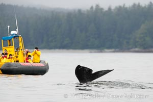 Gray whale raising its fluke (tail) in front of a boat of whale watchers before diving to the ocean floor to forage for crustaceans, Cow Bay, Flores Island, near Tofino, Clayoquot Sound, west coast of Vancouver Island, Eschrichtius robustus