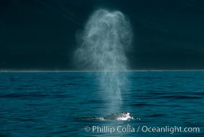 Gray whale, blow, Eschrichtius robustus, Big Sur, California