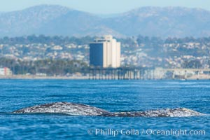 Gray whale, on southern migration to calving lagoons in Baja, San Diego, California