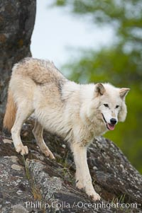 Gray wolf, Sierra Nevada foothills, Mariposa, California., Canis lupus, natural history stock photograph, photo id 16041