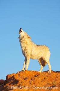 Gray wolf howling., Canis lupus, natural history stock photograph, photo id 12399
