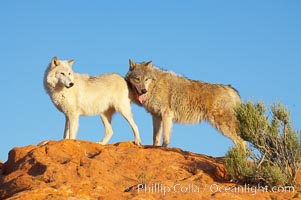 Gray wolf., Canis lupus, natural history stock photograph, photo id 12402